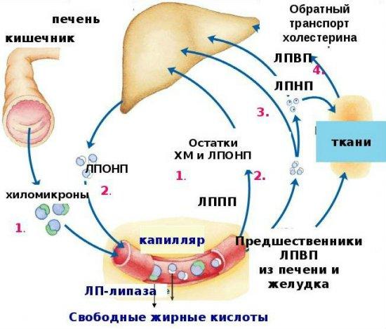 Транспортировка холестерина